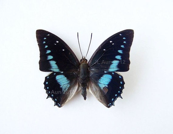 Real Butterfly Specimen Unmounted Ready Spread,  Imperial Blue Charaxes