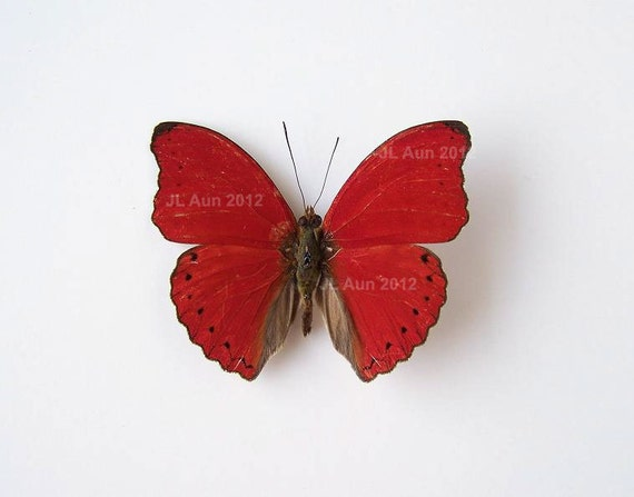 Real Butterfly Specimen Unmounted Ready Spread, Red Blood Glider
