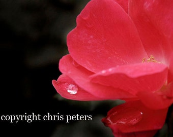 photo note card, water drop, red rose flower, free shipping, chris peters, mementos of the journey