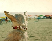 Beach Photography Dog On Beach - Venice California 1996 Gina the Chihuahua,  - Small White Chiwawa Dog Diamond Collar 10x8 inch Photograph