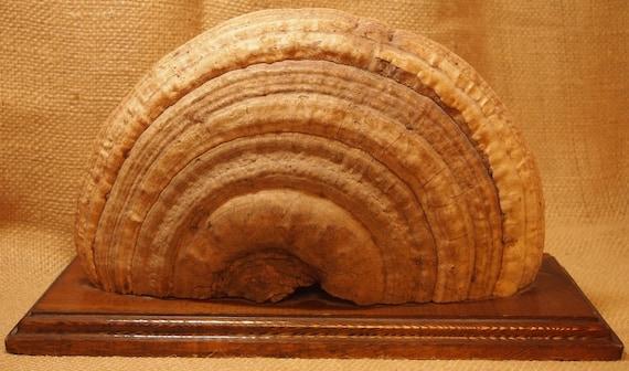 AWESOME Vintage Large Mounted Fungi Mushroom Specimen MidCentury Decor
