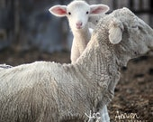belonging - lamb photography - fine cards (and so farm fresh)