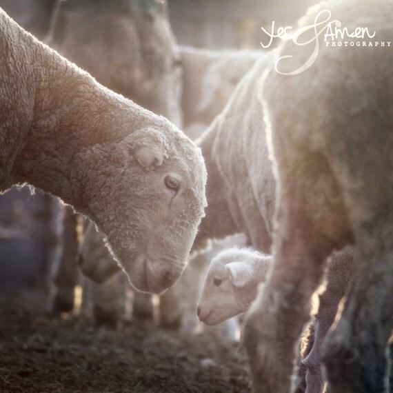 divine love - lamb photography - fine cards (and so farm fresh)