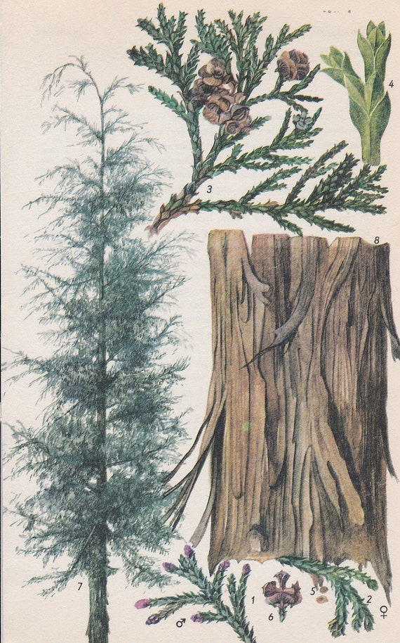 Vintage Tree Print, Lawson Cypress