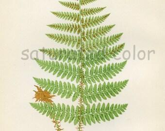 Antique Fern Chromolithograph Original Print - Green Fern Frond - Antique 1874 Edward Lowe Fern - No. 22 - Chartreuse