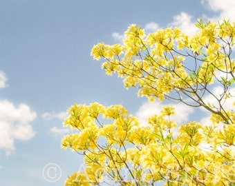 Yellow Blooms, Tree Against the Sky, Tower Hill Botanic Garden, Color Photography