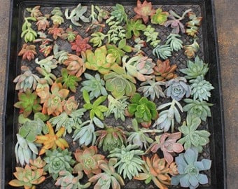 "75 (1-3""inches) ROSETTE Succulent CUTTINGS great for wedding and party FAVORS gifts favors Succulents"
