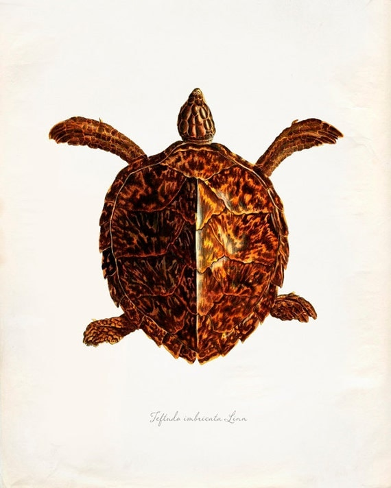 Vintage Turtle on Antique Paper Print 8x10 P231