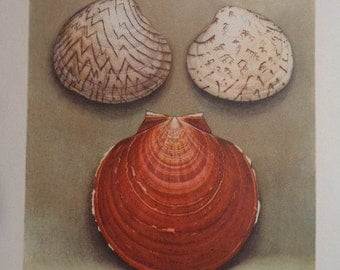 SOFT muted colors, Lioconcha Plate X, 1945 Seashell bookplate,  Detailed Watercolor, 15 plates total in shop for pair or grouping