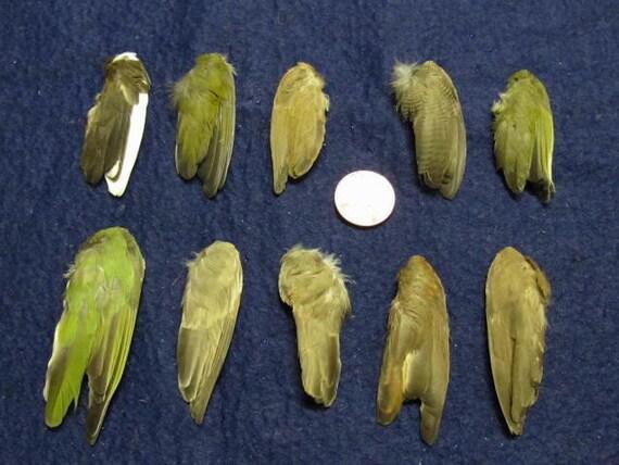 10 Single Finch Dried Bird Wings Feathers Art Craft Taxidermy