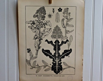LARGE Vintage Plant Form Print-Book Plate-Forget-Me-Not-1903-Large Print-Found in Dublin