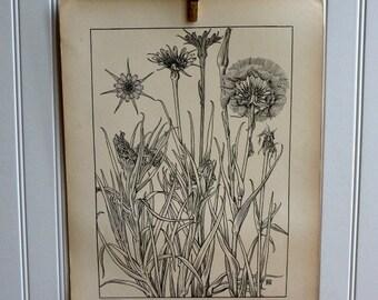 LARGE Vintage Plant Form Print-Book Plate-GOATSBEARD-1903-Found in Dublin-