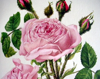 1962 Vintage  Botanical Print Pink Rose  Shabby Chic Anne Marie Trechslin Rosa Centifolia Mucosa