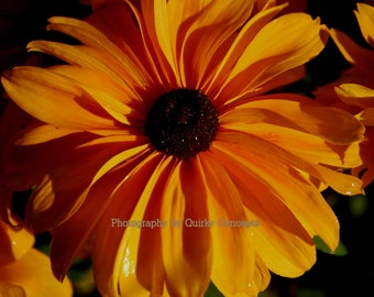 """Black-eyed susan Fine Art Nature Photography Yellow Redbeckia 8"""" x 10"""" print only"""