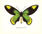 BUTTERFLY PRINT Art Original 1965 Book Plate 48 Beautiful  Large Queen Victoria Birdwing Butterfly Green Beautiful Garden Nature
