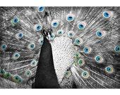Peacock 16x24