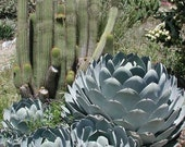 Agave parryi var. truncata.  Gorgeous, hardy and drought tolerant.