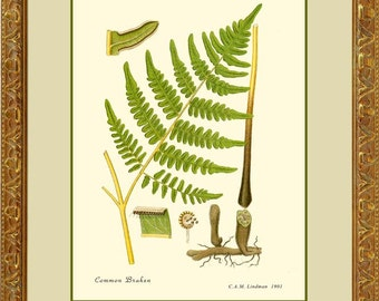 BRACKEN FERN - Botanical print reproduction 508