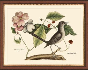 MOCKING BIRD - Catesby 12x16 bird print reproduction 7015