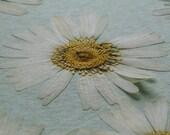 Pressed Wild Daisies - Dried Flower - Scrapbooking - Card Making - Hand Pressed Flowers