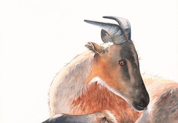 Goat Painting -G076- Wildlife art  -  print of watercolor painting- 5 by 7 print
