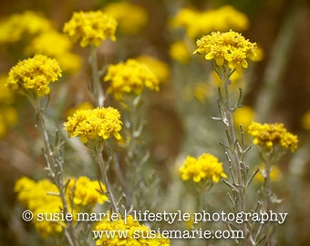 Mustard (Bright Yellow) Flowers - Nature Photography