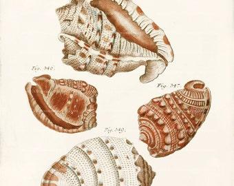 Antique Shell Art Print - 8 x 10 - Cafflices Shells Wall Decor