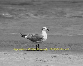 One Handsome Seagull in Black and White - Virginia Beach, VA