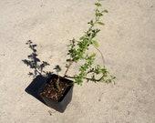 Lycium barbarum live plant goji wolfberry