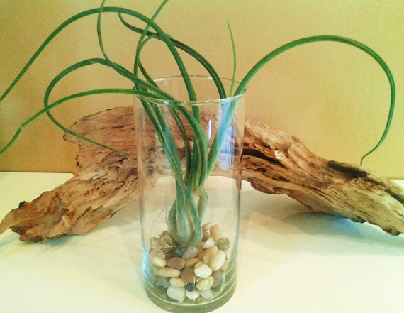 CAPUT MEDUSAE Air plant in Glass Cylinder Vase with River Rocks