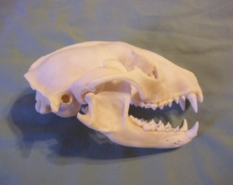 Real Animal Bone Raccoon skull head skeleton Part teeth man cave weird jaws coon