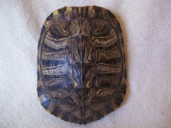 real animal bone Red Ear Slider Turtle Shell part