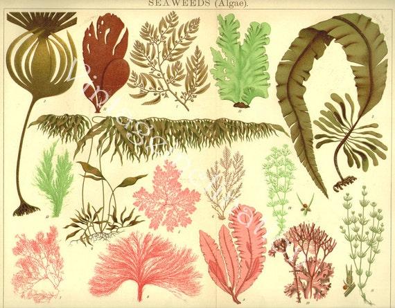 Antique Vintage 1924 LARGE Gorgeous Chromolithograph, SEA WEEDS Algae, 1800s art German color lithograph