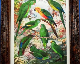 Parakeets of the Amazon from 1902 Art Print on Ivory Cotton Paper