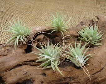 5 Pack Mini Tillandsia Ionantha Mexico Air Plants