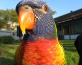 CRUELTY FREE FEATHERS - 100 Beautiful Natural Rainbow Feathers, Yellows, Oranges, Greens, Blues... Stunning - -