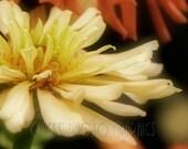 Flower Photo, Zinnia, Nature Art, 8x10 Botanical Print, Orange, Cream, Black