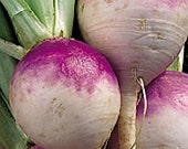 Turnip - Purple Top White Globe - Heirloom - 50 Seeds - Great Survival Seed