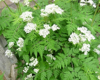 Sweet Cicely Seeds