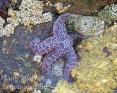 Purple Starfish, Carmel by the Sea, California, Matted Photography Print By Klaire Warren