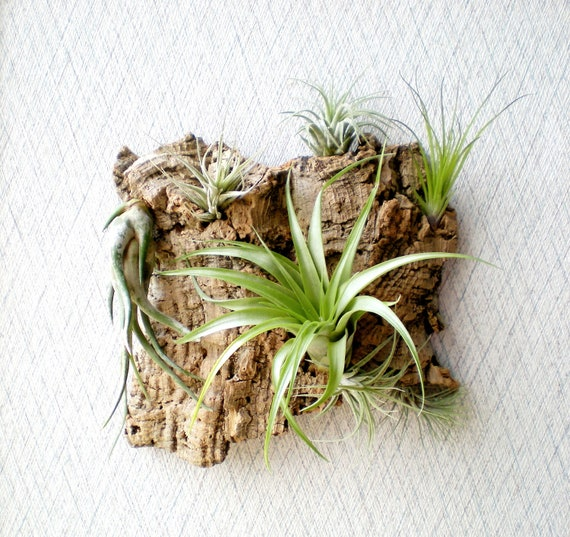 Wall Garden: Air Plants on Sustainable Virgin Cork Bark