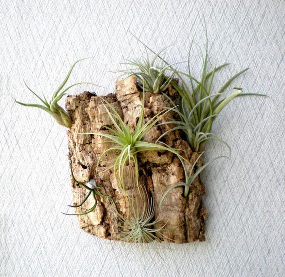 Vertical Garden: Air Plants on Sustainable Virgin Cork Bark