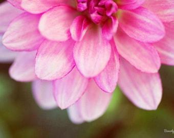 flower, summer, green, pink, dahlia, fine art photography