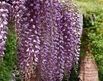 Heirloom 10 Wisteria Seeds Tree Seeds Wisteria sinensis Chinese Wisteria Vine Purple Flowers Bonsai Seeds T017