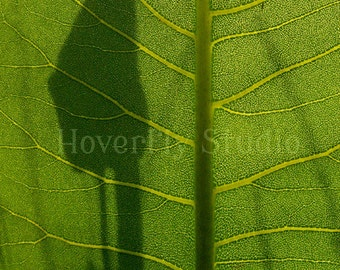 Prairie Dock Leaf -- 8x10 Nature Photograph -- Silhouette Illuminated