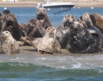 Cape Cod Photo's ON SALE  Summer Seals ECC