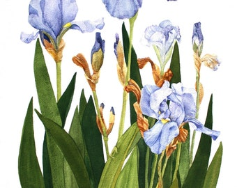 Iris Notecards Set of Six Watercolor Painting Reproductions
