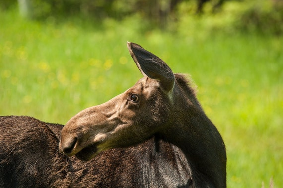 Moose - What Is That -  Nature photography, landscape photography, summer, fine art print, new england