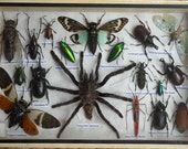 REAL Multiple INSECTS BEETLES Spider Collection frames /is08c - thaicraft2you