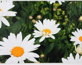 5 x 7 matted photo, field of daisies, flowers, white
